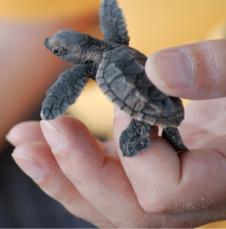 tiny baby turtle